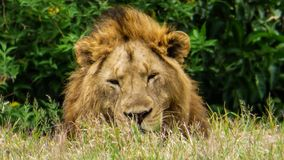 Lion male relax in the sun. Big male lion relax in the middle of the day in the grass. Kenya Stock Photography