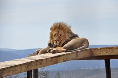 A big male lion resting on a scaffold Stock Image