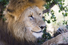 Big male lion rests under tree in Africa Stock Image