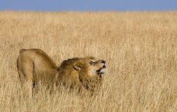 Big male lion in the savanna. National Park. Kenya. Tanzania. Maasai Mara. Serengeti. Stock Photo