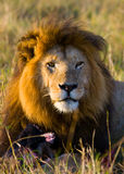 Big male lion in the savanna. National Park. Kenya. Tanzania. Maasai Mara. Serengeti. stock image
