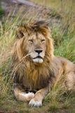 Big male lion in the savanna. National Park. Kenya. Tanzania. Maasai Mara. Serengeti. Stock Images