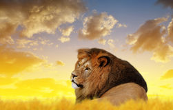 Big male lion Royalty Free Stock Images