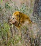 Big male lion standing in the savanna. National Park. Kenya. Tanzania. Maasai Mara. Serengeti. Royalty Free Stock Photo