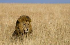Big male lion standing in the savanna. National Park. Kenya. Tanzania. Maasai Mara. Serengeti. Royalty Free Stock Photos