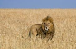 Big male lion standing in the savanna. National Park. Kenya. Tanzania. Maasai Mara. Serengeti. Stock Image