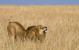 Big male lion standing in the savanna. National Park. Kenya. Tanzania. Maasai Mara. Serengeti. Royalty Free Stock Photography