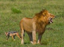 Big male lion standing in the savanna. National Park. Kenya. Tanzania. Maasai Mara. Serengeti. Stock Photos