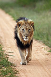 Big male lion. Transvaal lion or the Southeast African lion Panthera leo krugeri with black mane on the road royalty free stock photography