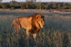 Big male lion walking through grassland royalty free stock image