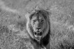 Big male Lion walking towards the camera. Big male Lion walking towards the camera in black and white in the Chobe National Park, Botswana royalty free stock images