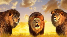 Big male lions on the savannah Stock Photography