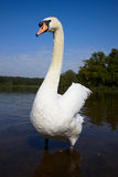 Big male mute swan. In a lake Royalty Free Stock Photography