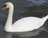 Big male mute swan. The mute swan is one of the heaviest flying birds. Its wholly white in plumage with an orange bill bordered with black. It is recognisable by Royalty Free Stock Photos