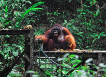 Big male of orangutan Stock Images