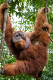 Big male orangutan on a tree in the wild. Indonesia. The island of Kalimantan (Borneo). Royalty Free Stock Images