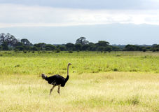 A big male ostrich walking in the Ngorongoro Crater Royalty Free Stock Photography