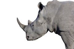 A big male rhino with clipping path. A big male rhiconeros (Ceratotherium simum) isolated on white. Clipping path included royalty free stock images