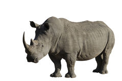 Big male rhinoceros. In the Kruger National park. South Africa Clipping path included royalty free stock image