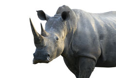 Big male rhinoceros. In the Kruger National park. South Africa Clipping path included royalty free stock photography