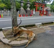 A big male sacred sika deers in Nara Park. Nara, JAPAN - Aug. 08 2017: One of the famous sacred sika deers in Nara Park with pretty horns is sitting for resting Royalty Free Stock Photography