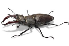Big male stag beetle. Male stag beetle, Lucanus cervus, isolated on white background. Close-up photo of big stag-beetle - the largest beetle of Europa Royalty Free Stock Photo