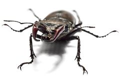 Big male stag beetle. Male stag beetle, Lucanus cervus, isolated on white background. Close-up photo of big stag-beetle - the largest beetle of Europa Stock Photo