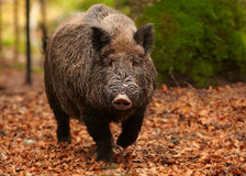 Big male Sus scrofa Wild boar in autumn beech forest. Close up portrait of big male Sus scrofa Wild boar in autumn beech forest coming directly to camera Stock Photos