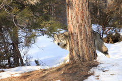Big male timber wolf behind tree. In mountains Royalty Free Stock Photos