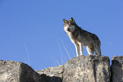 Big male timber wolf. Watching out over cliff Royalty Free Stock Photos