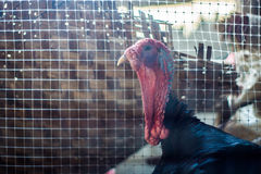 Big male turkey in a farm. Male turkey in a farm Royalty Free Stock Photo