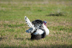 Big male turkey strutting in an open green field Royalty Free Stock Images