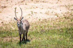 Big male Waterbuck starring at the camera. Royalty Free Stock Images