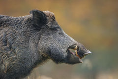 Big male wild boar. Close up of a wild boar in autumn Stock Image