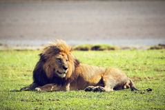 Big male wild lion on savannah. Ngorongoro, Africa. Royalty Free Stock Photo