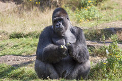 Big males gorilla. Sits in the sun in a zoo for monkeys Royalty Free Stock Photography