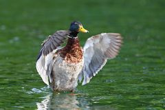Big mallard duck spreading wings Royalty Free Stock Photo