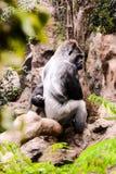Big Mammal Gray Adult Strong Gorilla Royalty Free Stock Image