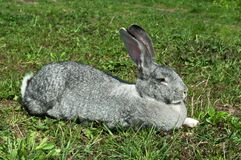 Big mammal rabbit Stock Photography