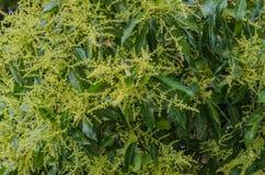 The big mango tree in efflorescence season Royalty Free Stock Image