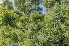 The big mango tree in efflorescence season Stock Photography