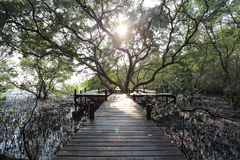 Big Mangrove trees of Thung  Prong Thong forest Royalty Free Stock Photo
