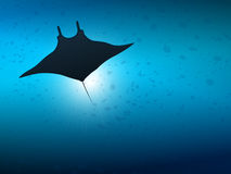 Big manta ray in ocean water. Underwater life. Underwater life. Big manta ray in ocean water Stock Photography