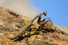 Big mantid Royalty Free Stock Photography