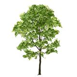 Big maple with green leaves in the summer stock image
