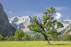 At the big maple ground in the Eng. Bizarre maple tree with the peaks of the Karwendel mountains stock photos