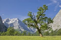 At the big maple ground in the Eng. Bizarre maple tree with the peaks of the Karwendel mountains royalty free stock images
