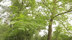 Big maple in the park, green big maple, Maple leaves sway in the wind.  stock video footage