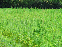 Big marijuana field with forest in background royalty free stock photos