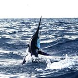 Big marlin fish breaching out of the water. Sport-fishing royalty free stock image